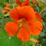 lichořeřišnice - květ